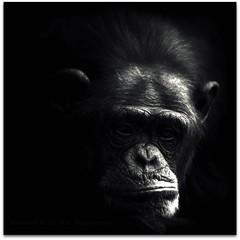 I Don't Like Mondays! (Samantha Nicol Art Photography) Tags: portrait white black art dark square monkey mono key low bored chimpanzee samantha monday unhappy chippy nicol