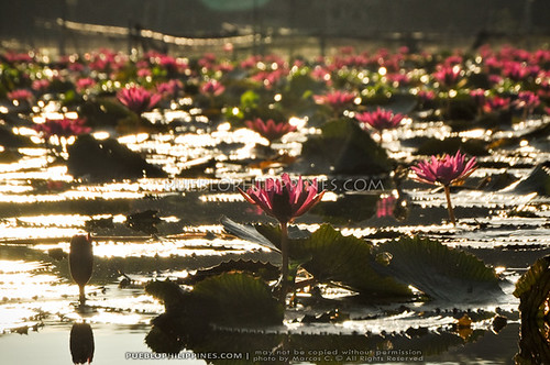 Lake Sebu Lotus Flowers: My Sunrise Paddle Boat Ride