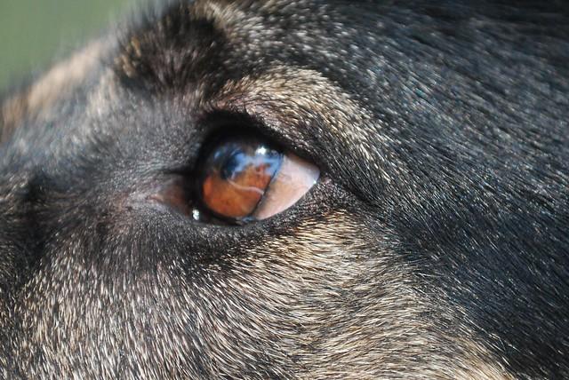 Signs Of Pannus Page 3 German Shepherd Dog Forums