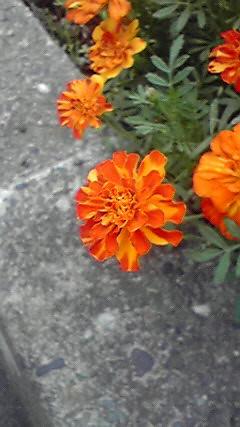 オレンジと黄色のマリーゴールドの写真