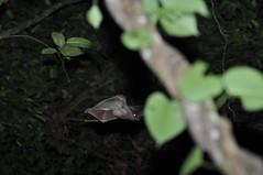 Colugo Galeopterus variegatus (Dzulhelmi Nasir) Tags: animal mammal rainforest nocturnal wildlife malaysia arboreal colugo kubong galeopterusvariegatus dzulhelminasir mammalanimalwildlife