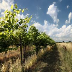 un mio classico (Lorena Gazzotti) Tags: vineyards emiliaromagna filari idream sbfmasterpiece sbfgrandmaster lorenagazzotti