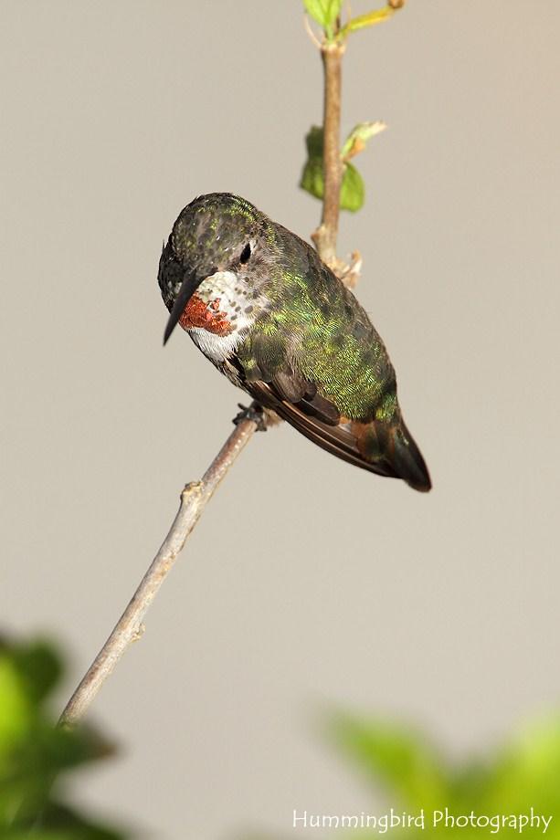Allen's Hummingbird 081511