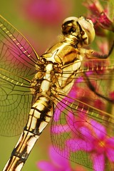 Dragonfly (John Horstman (itchydogimages, SINOBUG)) Tags: china macro insect dragonfly odonata itchydogimages