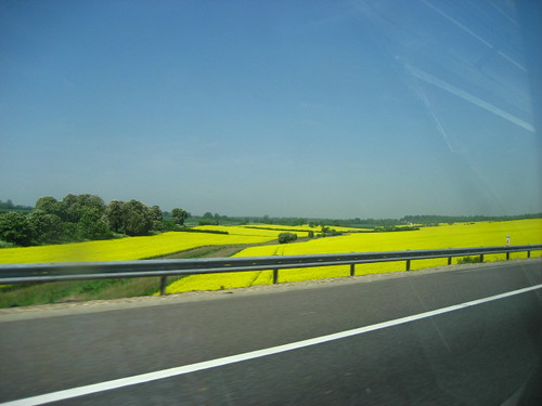 Rapeseed fields in Cambridgeshire