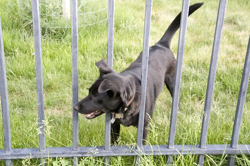 176-guard dog