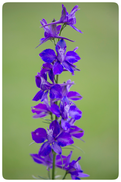 Native-Larkspur