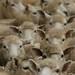 Aglomero de carneiros