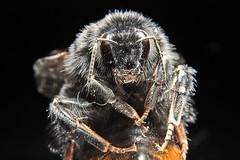 Just a chillin' bumblebee (Jack Duchy) Tags: macro sexy ex animal canon jack tiere bumblebee 200 7d l mm regensburg 70 insekt luxury hummel 430 duchy sehr stativ chea schön nahe