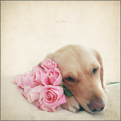 Happy Texture Tuesday ~ The Pretty Pink eDition (VeryViVi) Tags: pink flowers roses dog goldenretriever doggy bouquet textured texturetuesday tqp texturesquared missvivigold kimklassen veryvivi