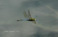 Pachydiplax_longipennis-Blue_Dasher sm 71211 (Peter Paladino) Tags: county illinois july whiteside 2011 easternpondhawk bluedasher halloweenpennant
