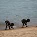 Sirizinhos cavando na areia