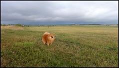 dh - le chien capou
