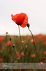 Red (dhmig) Tags: flowers red italy flower nature closeup backlight 50mm countryside nikon dof bokeh outdoor naturallight simplicity poppy closeness proximity redpoppy fragility cingoli themarches poppiesfield toemerge nikond7000 dhmig dhmigphotography ripenessandyouth