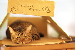 Kantaro taking a rest in a box (Takashi(aes256)) Tags: cat  catcafe canonef85mmf12liiusm  canoneos7d  nekorobi