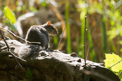 Eastern Gray Squirrel Photo