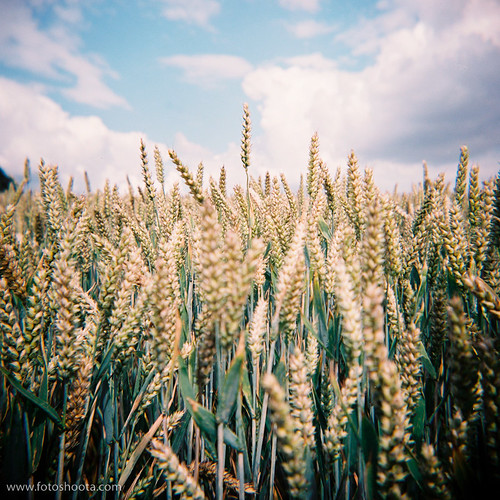 2852 - Wheat by fotoshoota.com