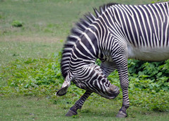 """Yes, Your Majesty..."" (JebbiePix) Tags: blackandwhite animal wildlife bow zebra bronxzoo striped mane   grevyszebra  specanimal blinkagain bestofblinkwinners"