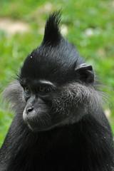 Black Crested Mangabey (Truus & Zoo) Tags: netherlands animals zoo kerkrade dierentuin gaiapark kuifmangabey nearthreatened blackcrestedmangabey lophocebusaterrimus