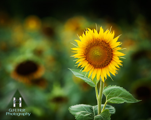 Sunflower by G. H. Holt Photography