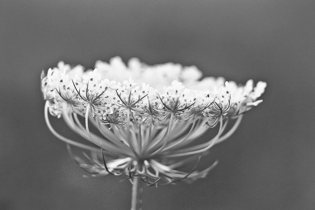 More Queen Anne's lace and Lightroom learning
