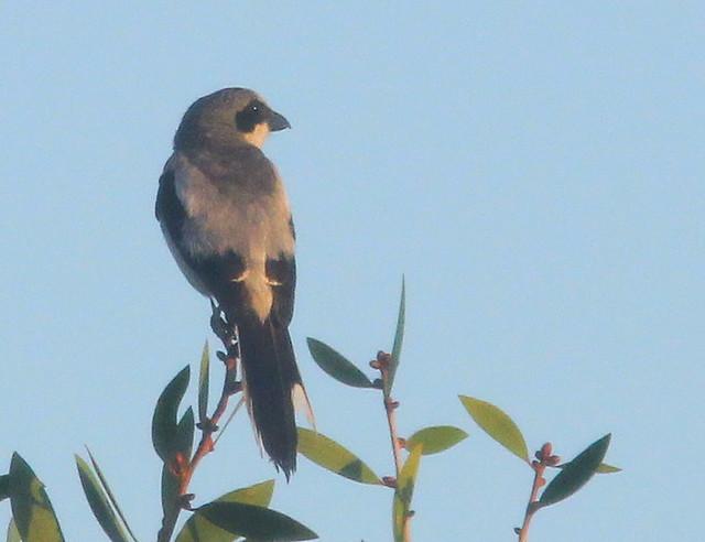 Loggerhead Shrike 20110721
