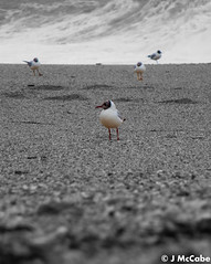 Black Headed Gulls (J McCabe) Tags: blackwhite gulls
