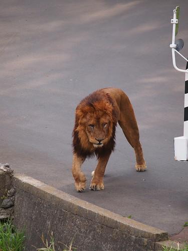 多摩動物公園 ライオン