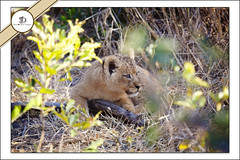 _MG_5147 (Rigor & Samnooshka) Tags: africa wild game animals private cub lion reserve virgin richard branson ulusaba
