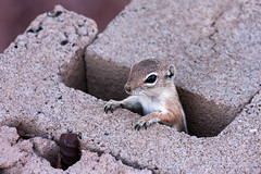 Up and at 'em! (James Marvin Phelps) Tags: photography rodent squirrel desert wildlife nevada mojavedesert hendersonnevada antelopegroundsquirrel mandj98 jmpphotography jamesmarvinphelps