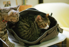 Occupied... (Obacyan) Tags: film cat bag kodak  ef5018 ektar100 flickr1