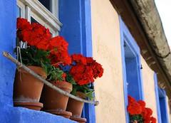 us three (siebensprung) Tags: blue red rot window niceshot fenster blau windowsill potted blumentopf pelargonium fensterbank geranie