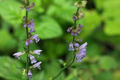 瀬上市民の森のアキノタムラソウ(Flower, Segami Community Woods)
