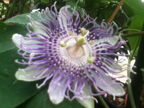 some of my passiflora - Page 2 5982379470_fbd03616d0