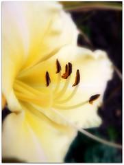 Day lily side view. (♥ Katie ann. Off more than on.) Tags: amazingdetail flickrbronzeaward macroupcloseandpersonal naturespotofgoldlevel1 roylegroupmostofusloveflowers