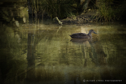 Duck by alison lyons photography