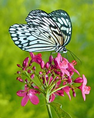 Paper Kite Butterfly (njchow82) Tags: pink plant flower nature closeup butterfly insect bokeh wildlife calgaryzoo paperkitebutterfly beautifulexpression worldofanimals dmcfz35 nancychow stunningphotogpin