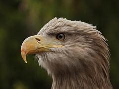 Sea Eagle - Seeadler (pe_ha45) Tags: raptor seaeagle greifvogel whitetailedseaeagle whitetailedeagle seeadler haliaeetusalbicilla pigargo pygarguequeueblanche grandaigledemer guilamarina aiglebarbu pigaroeuropeo