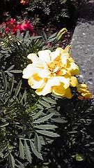 鮮やかな黄色のマリーゴールドの写真