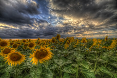 End Of The Day (Philippe Saire    Photography) Tags: sunset sky france flower nature fleur colors field yellow night clouds jaune canon landscape photography eos photo cloudy couleurs champs meadow sigma wideangle ciel 7d sunflower prairie 1020mm nuages paysage campagne hdr franchecomt tournesol photomatix philippesaire