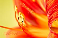 Dreaming (Chrisseee) Tags: red macro yellow closeup canon dof daylily perennial raynoxm250 kristiinahillerstrm chrisseee rusopivnliljahemerocallisfulva