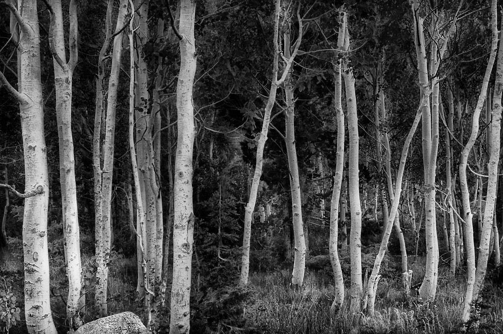 Aspens near Sonora Pass © Harold Davis