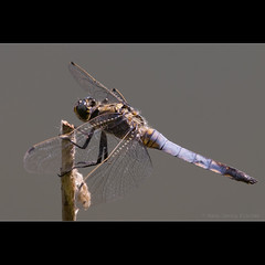 Groer Blaupfeil - Black-tailed Skimmer (male) (hgviola ) Tags: blue macro nature azul germany insect deutschland nikon dragonfly natur bleu blau ufer makro tamron teich libelle insekt jerman badenwrttemberg 180mm orthetrumcancellatum lauffen d80 grosserblaupfeil blaupfeil segellibelle feuchtbebiet