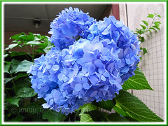Hydrangea macrophylla 'Endless Summer' (Mophead/Bigleaf/French Hydrangea, Hortensia) in July 2011