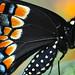 Black Swallowtail Profile