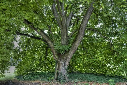 A park egyik közeli fája HDR