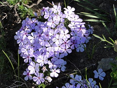 Phlox on Crystal Peak trail.