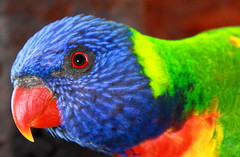 Rainbow Lorikeet [explored] (CarlosSilvestre62) Tags: sydney australia explore rainbowlorikeet explored carlossilvestre62 carlossilvestre62explored royalbotanicgardensinsydney wildrainbowlorikeet