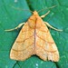 Orange Sallow Moth