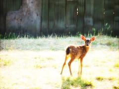 Meet Bambi